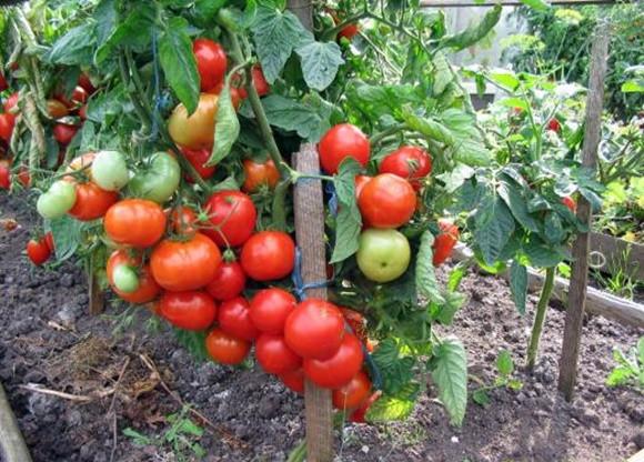 Сорта томатов