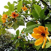 Тюльпановое дерево (высота саженца - 8м)