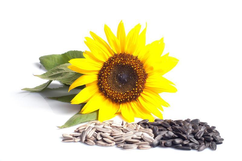 Семена подсолнуха ЗАГРАВА