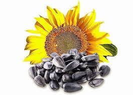 Семена подсолнуха Княжий (кондитерський)