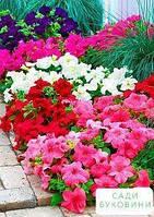Петуния 'Крупноцветковая' (в банке) ТМ 'Весна Органик' 5г