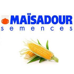 Семена кукурузы Мас 10.A