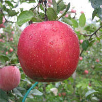 Саженцы яблони Фуджи Кику 8 (карликовые, М9)