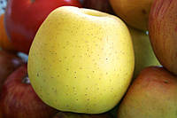 Саженцы яблони Голден Делишес (карликовые, М9)