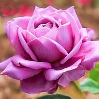 Чайно-гибридные розы сорта Верди