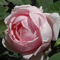 Английские розы сорта Бразе Кадфаэль