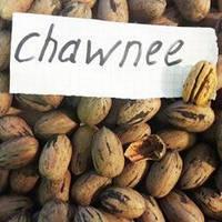 Саженцы ореха Пекан Chawnee