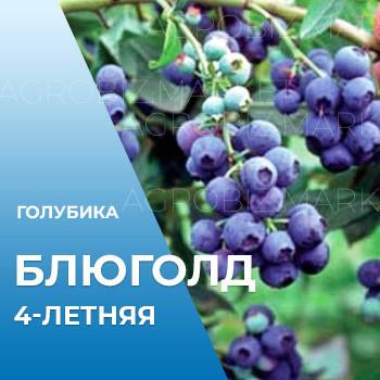 Саженцы голубики Блюголд 4-летние в горшке h-100-130см. куст.,3-5 побегов