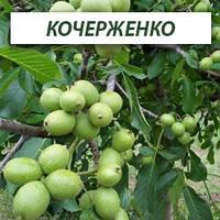 Грецкий орех Кочерженко, трехлетний