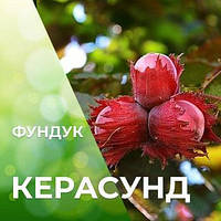 Саженцы фундука Керасунд