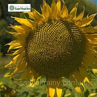Семена подсолнечника НС Х 6376