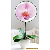 """Растения - Орхидея (подросток) """"RACHEL"""", 1 шт."""