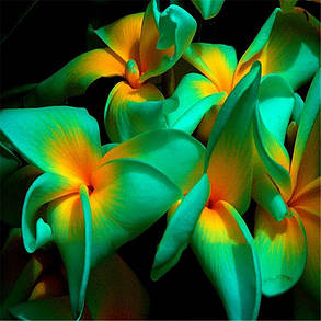 Egrow 100Pcs / Pack Plumeria Семена Гавайский цветок Frangipani Сад Свадебное Партийные украшения - 1TopShop, фото 2
