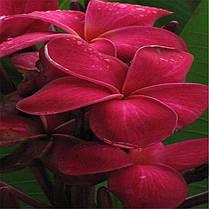 Egrow 100Pcs / Pack Plumeria Семена Гавайский цветок Frangipani Сад Свадебное Партийные украшения - 1TopShop, фото 3