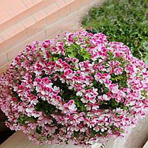 Egrow 100 PCS Geranium Seed Сад Горшечный цветок Семена Многолетний балкон во внутреннем дворе На открытом воздухе Растение - 1TopShop, фото 2