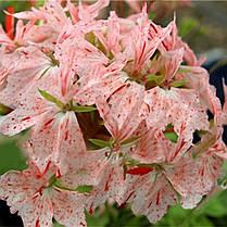 Egrow 100 PCS Geranium Seed Сад Горшечный цветок Семена Многолетний балкон во внутреннем дворе На открытом воздухе Растение - 1TopShop, фото 3