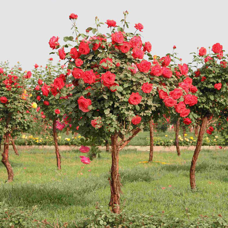 Egrow 100Pcs Красное розовое дерево Семена DIY Главная Сад Цветочный горшок в саду в горшкахt - 1TopShop