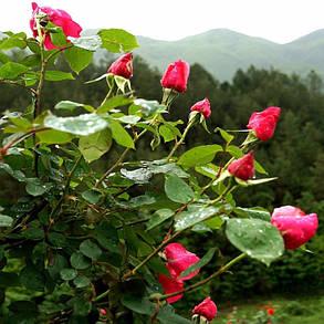 Egrow 100Pcs Красное розовое дерево Семена DIY Главная Сад Цветочный горшок в саду в горшкахt - 1TopShop, фото 2