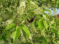 Черемуха цвет с листьями сушеные фасовка 100 грамм.