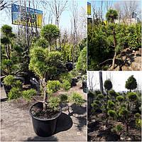 """Сосна обыкновенная """"Ниваки"""" (Pinus Sylvestris """"Niwaki"""") / H 150хD120 см / контейнер"""