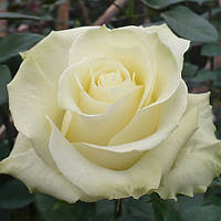 Саженцы роз Лимбо, фото 1