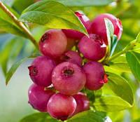 Голубика Пинк (Розовый) Лимонад (Pink Lemonade)