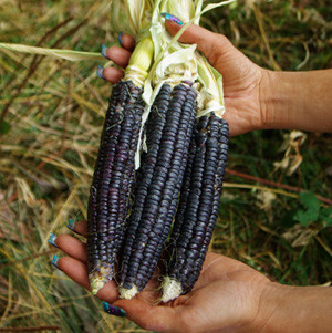 кукуруза атстеков