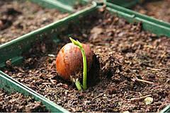 Как выращивать фундук в домашних условиях