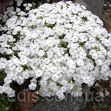 Флокс шиловидный Maischnee (Майский снег) белый