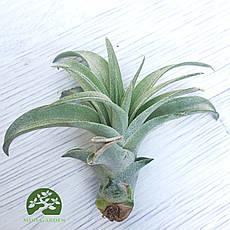 Тилландсия Капитата (Tillandsia Capitata)