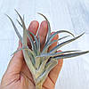Тилландсия атмосферная Хариси (Tillandsia Harrisii), фото 2