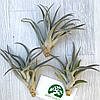 Тилландсия атмосферная Хариси (Tillandsia Harrisii), фото 3