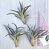 Тилландсия атмосферная Хариси (Tillandsia Harrisii), фото 4