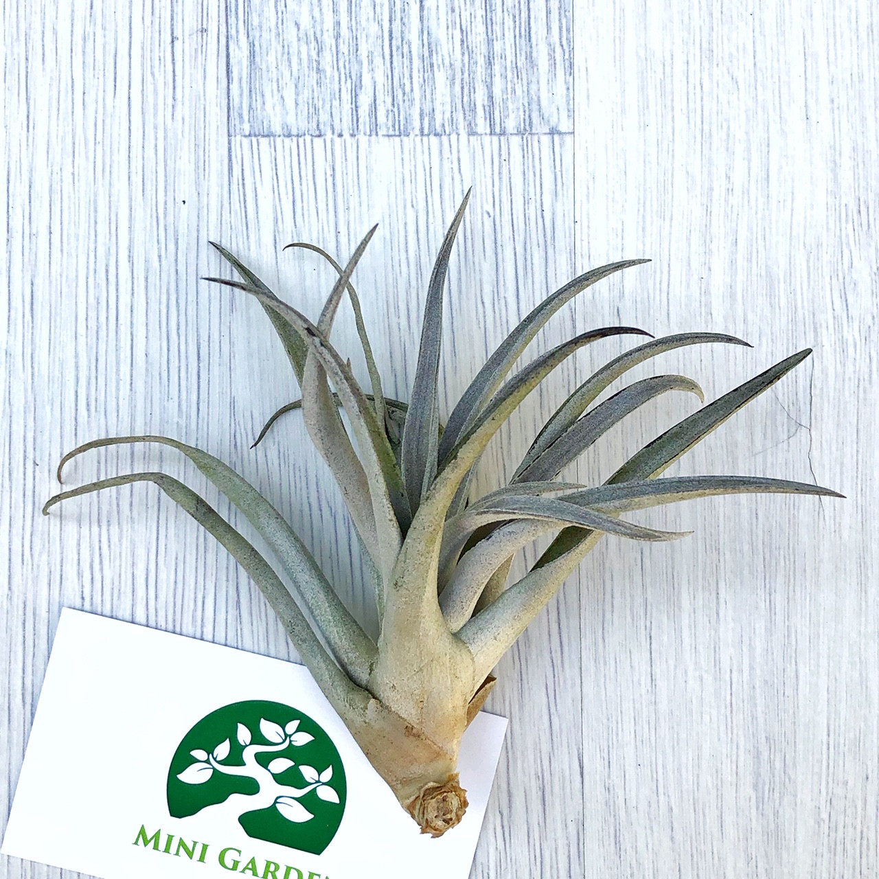 Тилландсия атмосферная Хариси (Tillandsia Harrisii)