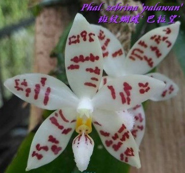 Орхидея подросток. Сорт Phal zebrina 'palawan' , горшок 1.7 без цветов