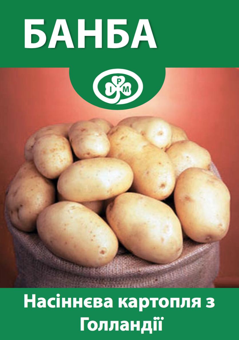 Семенной картофель Банба, Голландия