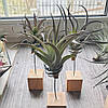 Тилландсия атмосферная Хариси (Tillandsia Harrisii), фото 5