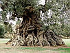 Семена Оливковое Дерево, фото 4