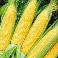 Кукуруза сахарная ОВЕРЛЕНД F1 Syngenta 100 000 шт
