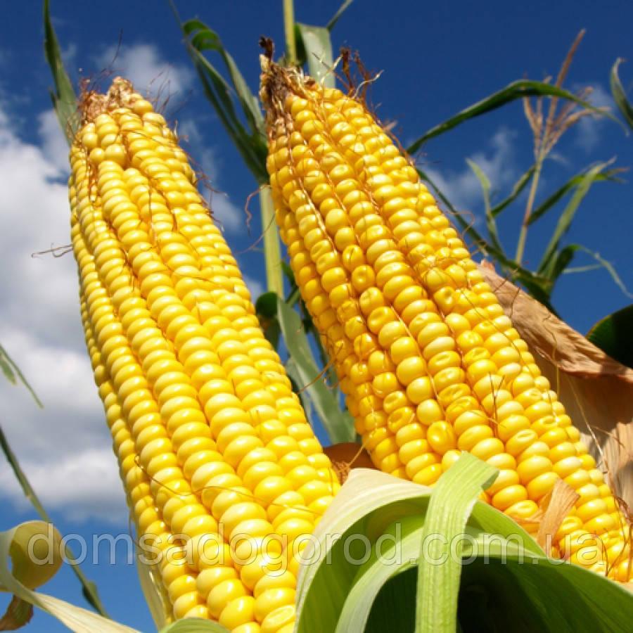 семена кукурузы порумбень