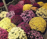 Скоро впродаже саженцы хризантем ведущих голландских селекционных компаний