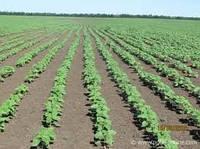 Вплив густоти стояння рослин соняшнику на продуктивність