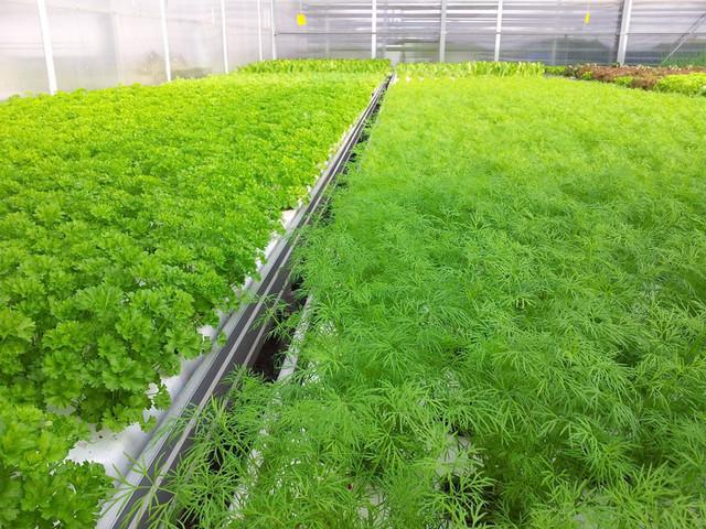 Выращивание зелени теплица