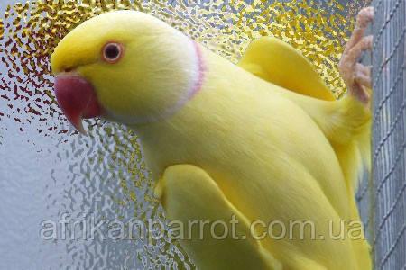 Ожереловый попугай или Индийский кольчатый попугай.