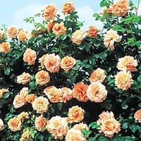 Роза плетиста персикова Полька