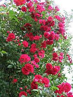 Роза плетиста червона