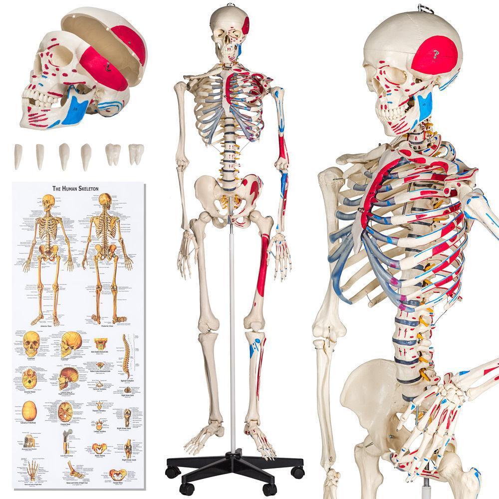 Объемный подробный анатомический скелет человека 181 см