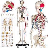Объемный подробный анатомический скелет человека 181 см, фото 1