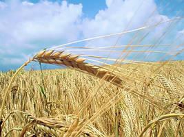 Рекомендована технологія позакореневого підживлення пшениці (ячменю)  від Мінераліс