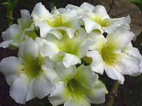 "АДЕНИУМ - РОЗА ПУСТЫНИ ""elephant-white"" (Adenium Obesum Desret Rose ""elephant-white"")"